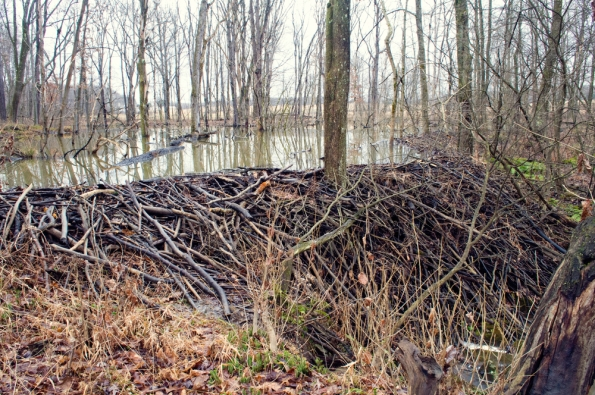 Beaver_pond_-_big_dam