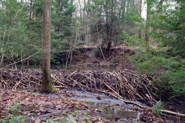 Beaver_pond_2_-_new_dam